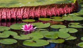 Roze Lotus Royalty-vrije Stock Afbeelding