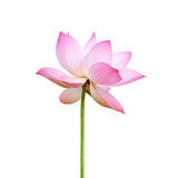 Roze Lotus Royalty-vrije Stock Afbeeldingen