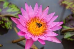 Roze Lotus. stock afbeelding