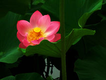Roze Lotus Stock Foto