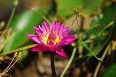 Roze Lotus-bloem Stock Foto