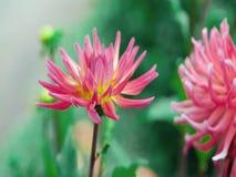 Roze Lotus-bloem in vijver Mooie bloemen stock foto