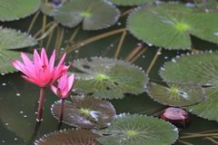 Roze Lotus-bloembloei in vijver, waterlelie in het openbare park Royalty-vrije Stock Foto