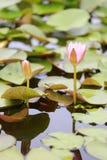 Roze Lotus-bloembloei in vijver, waterlelie in het openbare park royalty-vrije stock afbeeldingen