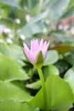 Roze Lotus-bloembloei in vijver, waterlelie in het openbare park Stock Fotografie