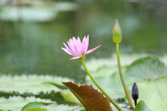 Roze Lotus-bloembloei in vijver, waterlelie in het openbare park Royalty-vrije Stock Foto's