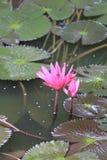 Roze Lotus-bloembloei in vijver, waterlelie in het openbare park Royalty-vrije Stock Fotografie