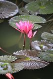 Roze Lotus-bloembloei in vijver, waterlelie in het openbare park Stock Foto's
