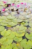 Roze Lotus in de tuin stock foto