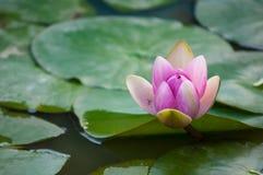 Roze Lotus in een meer Royalty-vrije Stock Afbeelding