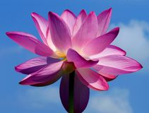 Roze Lotus Flower Royalty-vrije Stock Foto