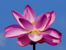 Roze Lotus Flower Royalty-vrije Stock Afbeeldingen