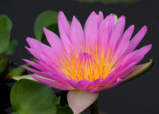 Roze Lotus Flower op vijver Stock Foto's