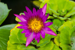 Roze Lotus Flowers in Lily Pond Stock Foto's
