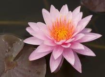 Roze Lotus op de Rivier stock afbeelding