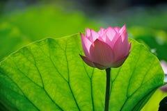 Roze lotusbloem Stock Afbeeldingen