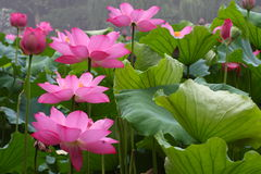 Roze lotusbloem royalty-vrije stock afbeeldingen