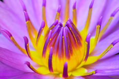 Roze lotusbloem Stock Afbeelding