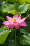 Roze lotusbloem royalty-vrije stock afbeelding