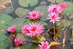 Roze lotusbloem Stock Foto's