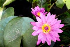 Roze lotusbloem Royalty-vrije Stock Fotografie