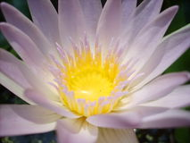 Roze lotusbloem Stock Foto