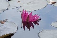 Roze lotusbloem Stock Fotografie