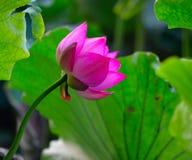 Roze lotusbloem, Bloeiende bloem Stock Fotografie
