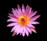 Roze lotusbloem die op zwarte wordt geïsoleerds Royalty-vrije Stock Foto