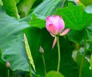 Roze lotusbloem en een blad Stock Afbeelding