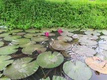 Roze lotusbloem en groene bladeren in een vijver stock foto's
