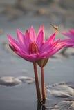 Roze lotusbloem en libel Stock Foto's