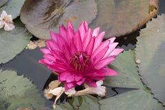 Roze lotusbloem en libel Royalty-vrije Stock Foto