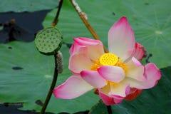 Roze lotusbloem en lotusbloemzaad royalty-vrije stock afbeelding