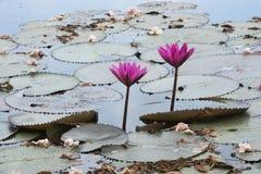 Roze lotusbloem en Tabbebuia-rosea Royalty-vrije Stock Fotografie