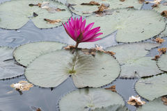 Roze lotusbloem en Tabebuia-rosea Stock Afbeeldingen