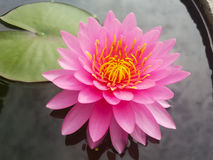 Roze lotusbloem flowe Royalty-vrije Stock Foto's