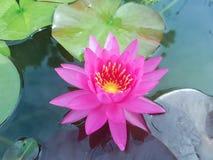 Roze lotusbloem flowe Royalty-vrije Stock Foto