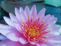Roze lotusbloem flowe Royalty-vrije Stock Afbeelding