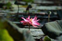 Roze lotusbloem in het meer Stock Afbeeldingen