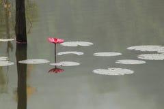 Roze lotusbloem in het water Stock Afbeelding