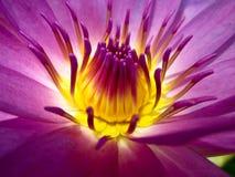 Roze lotusbloem, macro geel stuifmeel Stock Afbeelding