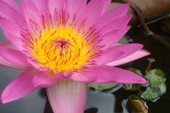 Roze lotusbloem in meer Royalty-vrije Stock Afbeelding
