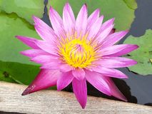 Roze lotusbloem in meer stock foto