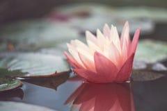 Roze lotusbloem onder de vijver Exotische tropische bloem op een lichtgroene achtergrond Water lilly gebladerte stock fotografie