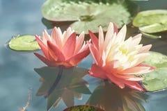 Roze lotusbloem onder de vijver Exotische tropische bloem op een lichtgroene achtergrond Water lilly gebladerte stock foto