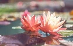 Roze lotusbloem onder de vijver Exotische tropische bloem op een lichtgroene achtergrond Water lilly gebladerte stock foto's