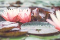 Roze lotusbloem onder de vijver Exotische tropische bloem op een lichtgroene achtergrond Water lilly gebladerte royalty-vrije stock afbeelding