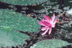 Roze lotusbloem op het water stock afbeelding