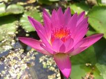 Roze lotusbloem op waterachtergrond royalty-vrije stock afbeelding